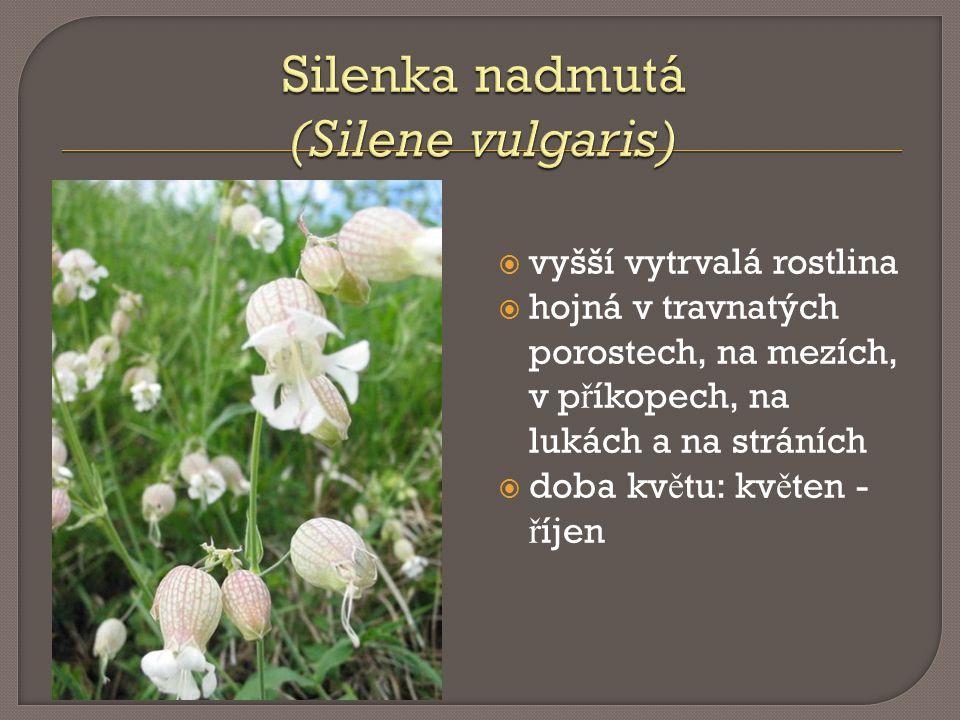 Silenka nadmutá (Silene vulgaris)