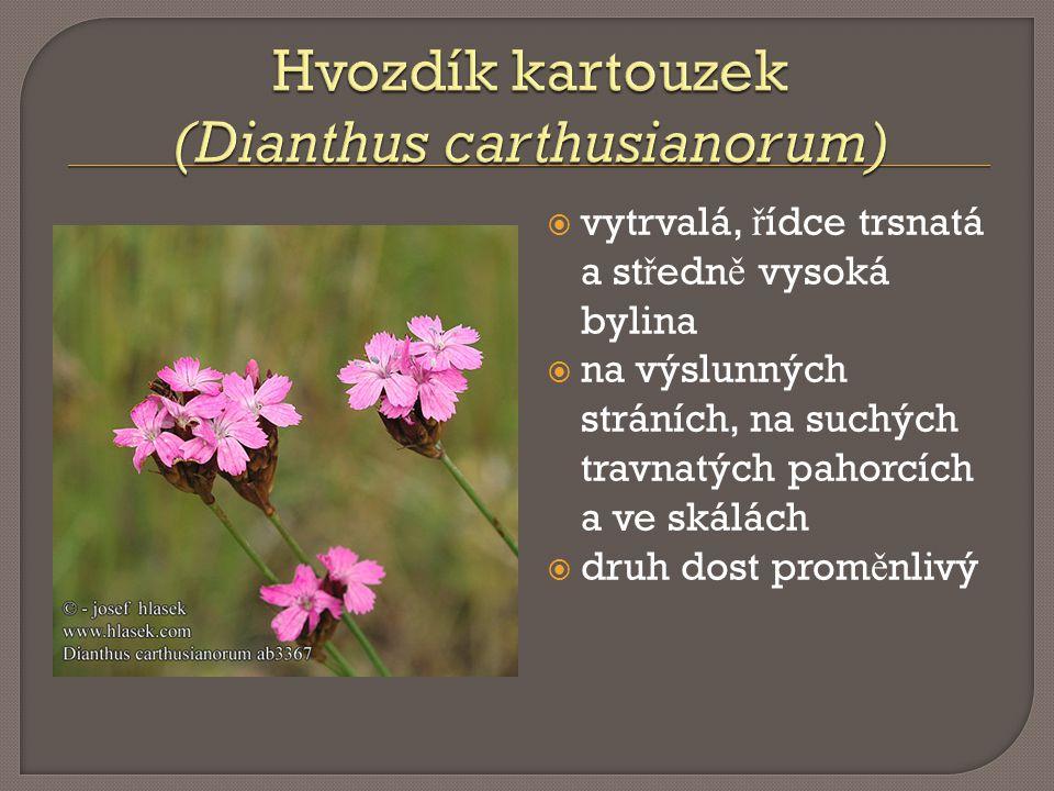 Hvozdík kartouzek (Dianthus carthusianorum)