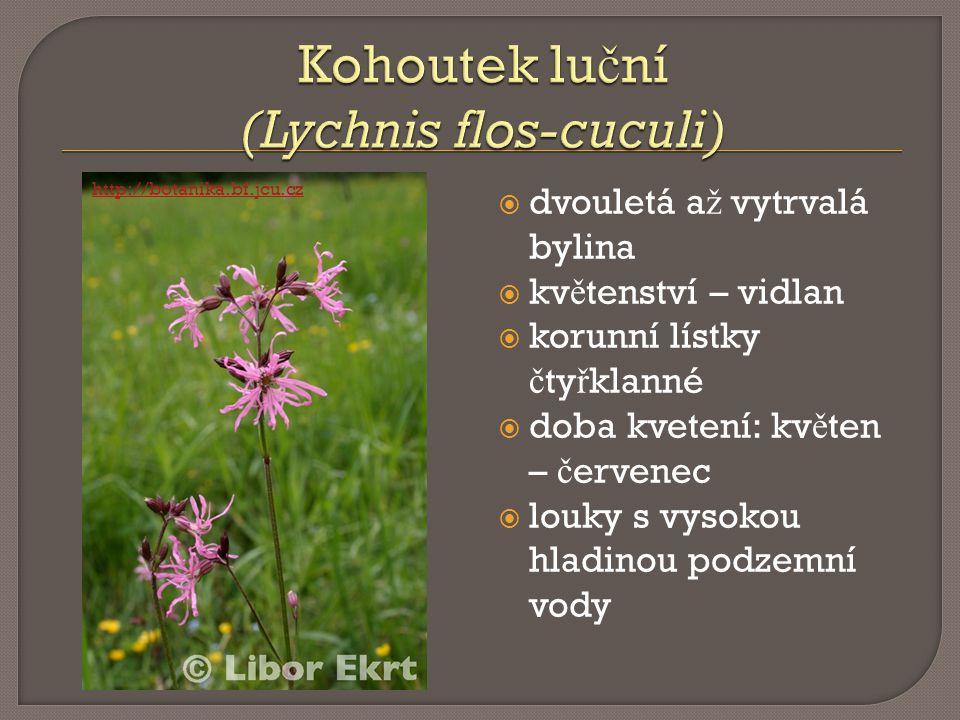 Kohoutek luční (Lychnis flos-cuculi)