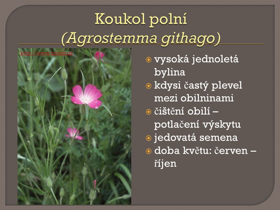 Koukol polní (Agrostemma githago)