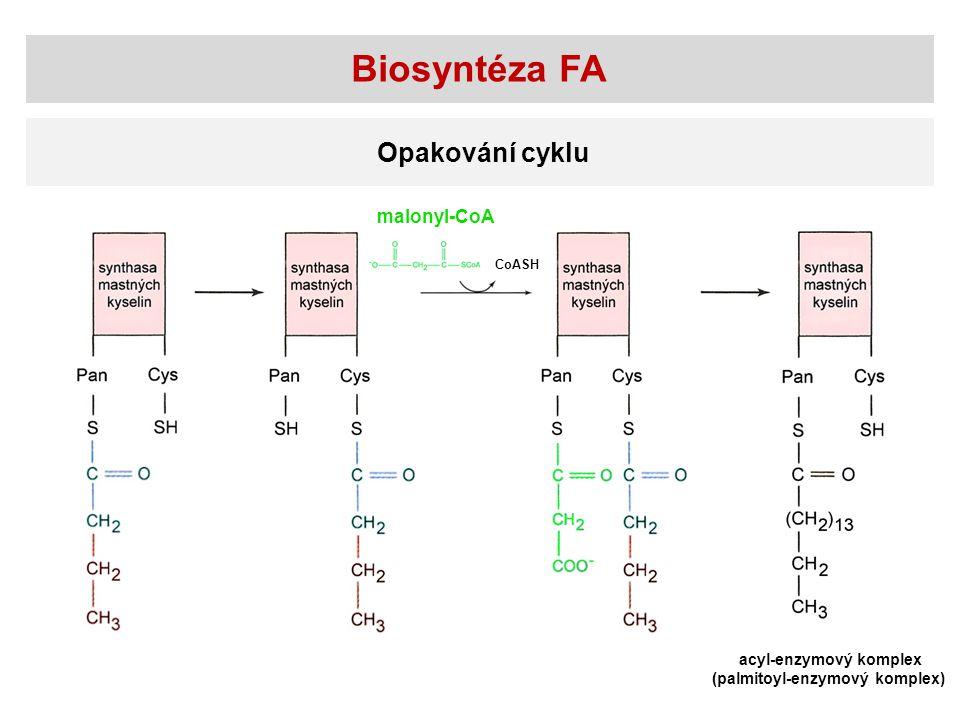 Biosyntéza FA Opakování cyklu malonyl-CoA acyl-enzymový komplex