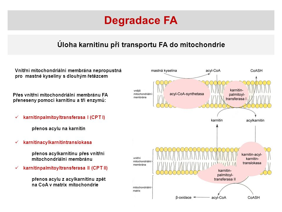 Degradace FA Úloha karnitinu při transportu FA do mitochondrie