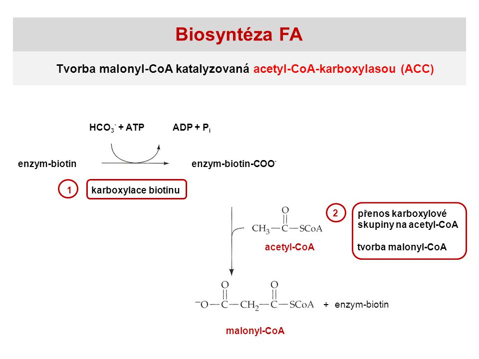 Biosyntéza FA Tvorba malonyl-CoA katalyzovaná acetyl-CoA-karboxylasou (ACC) HCO3- + ATP. ADP + Pi.