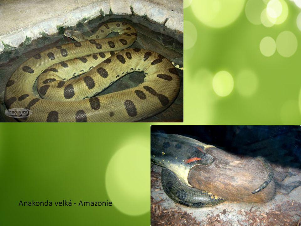Anakonda velká - Amazonie
