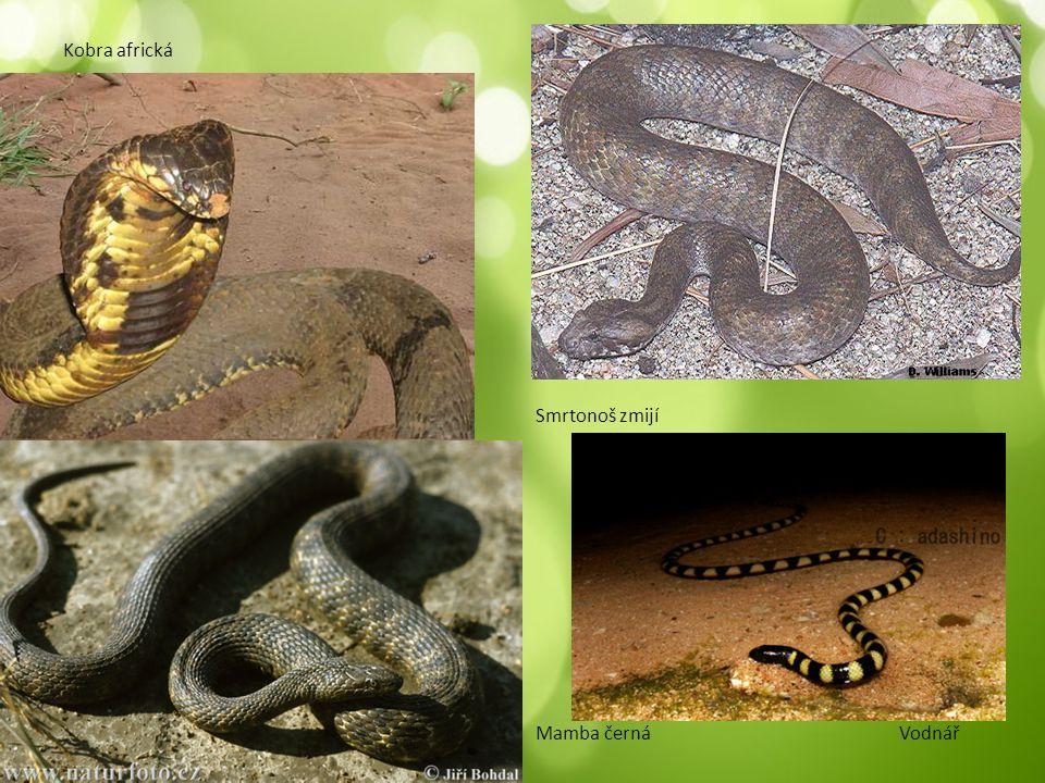 Kobra africká Smrtonoš zmijí Mamba černá Vodnář