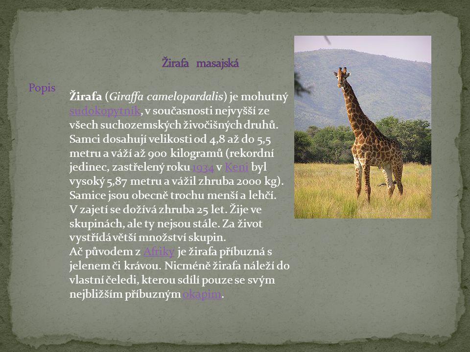 Žirafa masajská Popis.