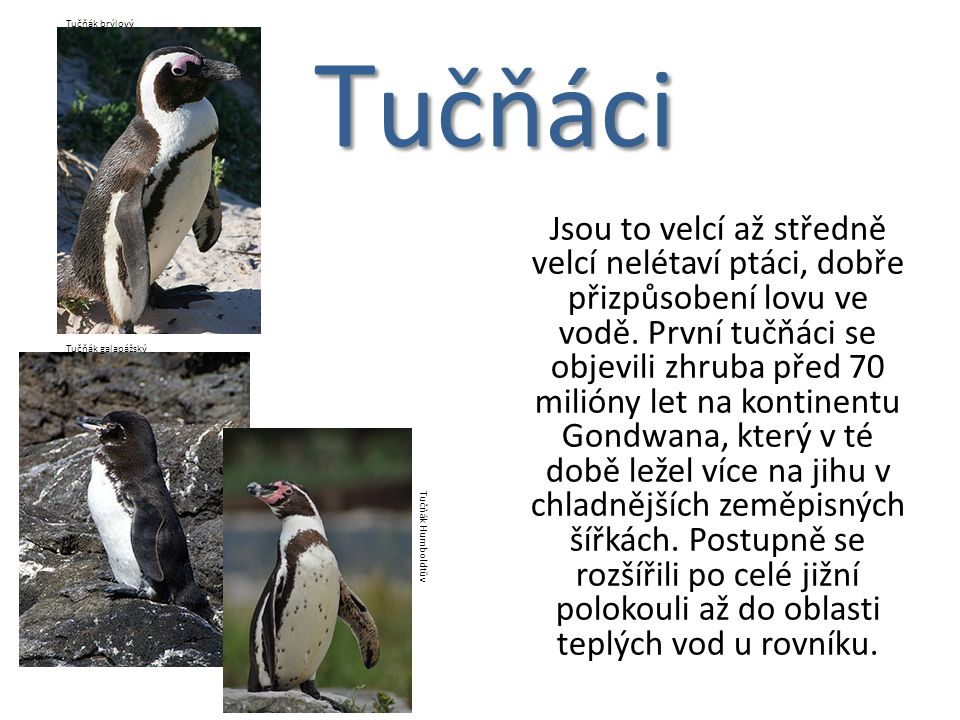 Tučňák brýlový Tučňáci.