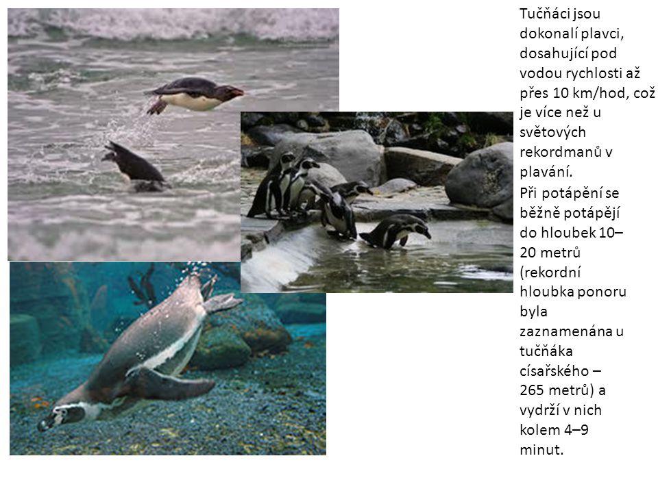 Tučňáci jsou dokonalí plavci, dosahující pod vodou rychlosti až přes 10 km/hod, což je více než u světových rekordmanů v plavání.