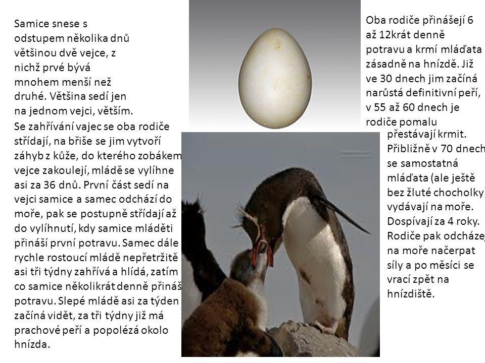 Oba rodiče přinášejí 6 až 12krát denně potravu a krmí mláďata zásadně na hnízdě. Již ve 30 dnech jim začíná narůstá definitivní peří, v 55 až 60 dnech je rodiče pomalu