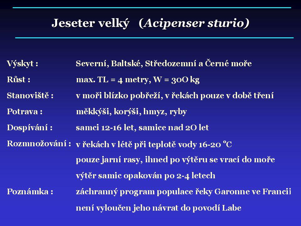 Jeseter velký (Acipenser sturio)