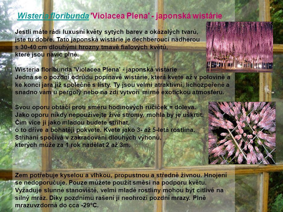 Wisteria floribunda Violacea Plena - japonská wistárie