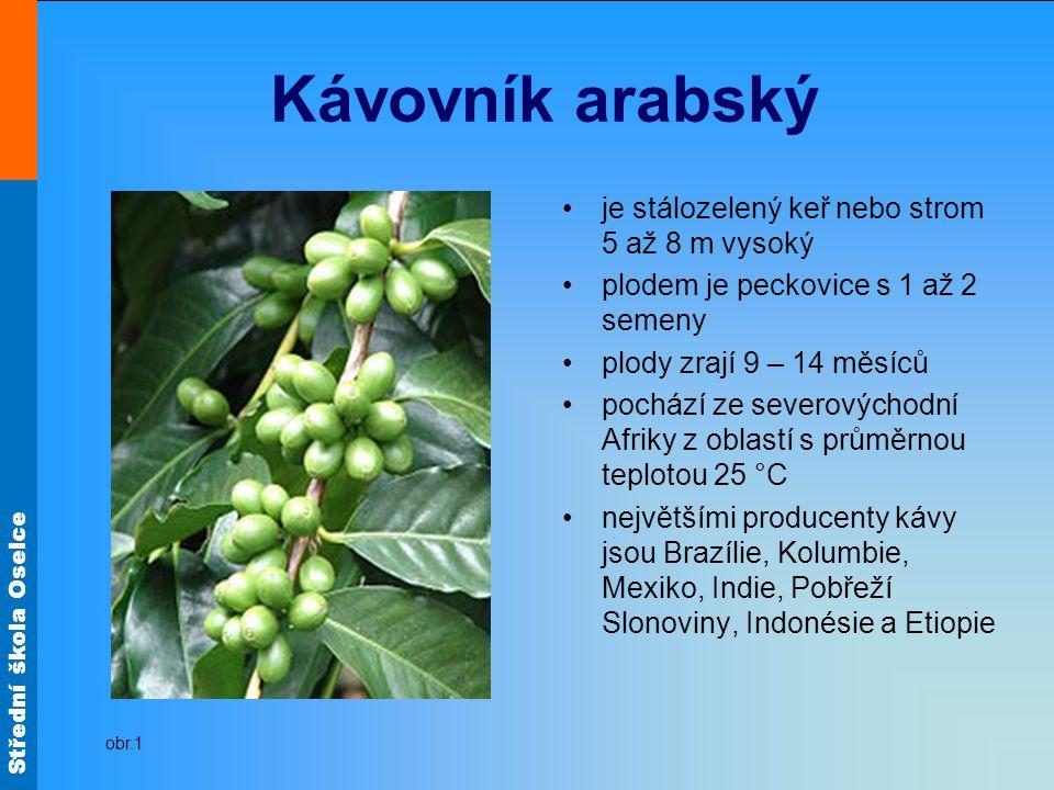 Kávovník arabský je stálozelený keř nebo strom 5 až 8 m vysoký
