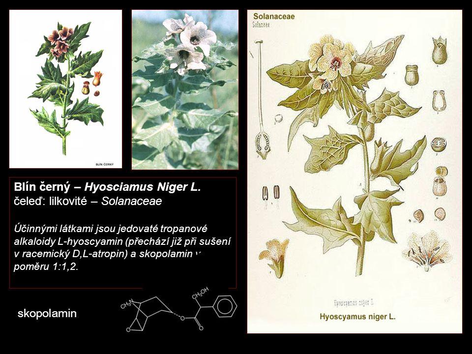 Blín černý – Hyosciamus Niger L. čeleď: lilkovité – Solanaceae