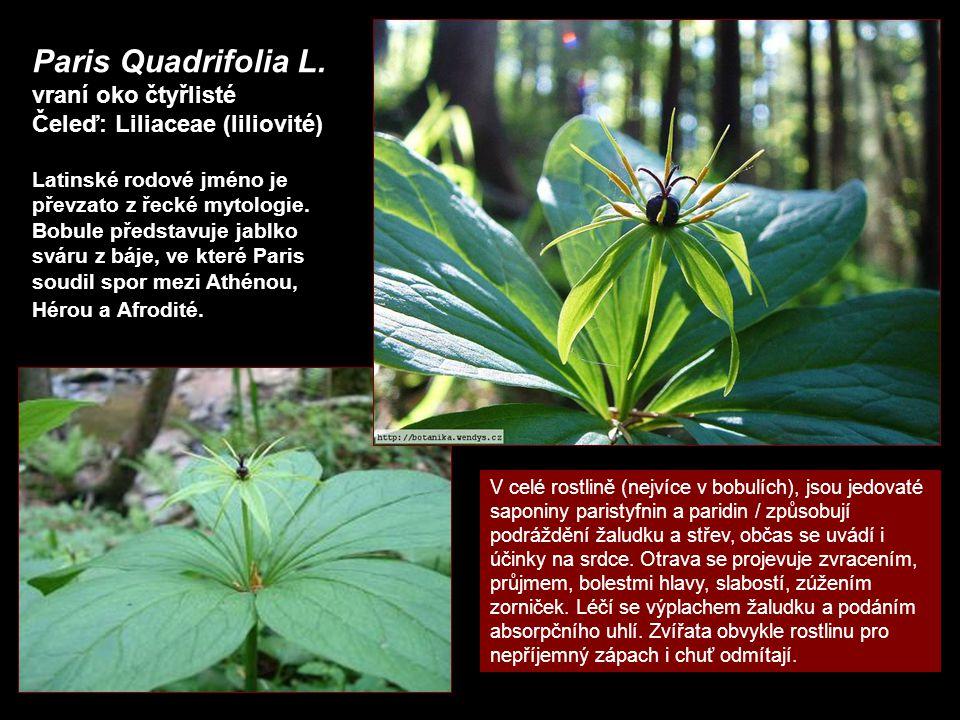 Paris Quadrifolia L. vraní oko čtyřlisté Čeleď: Liliaceae (liliovité)