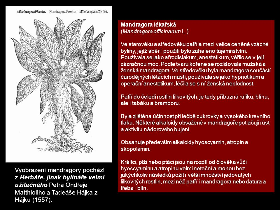 Mandragora lékařská (Mandragora officinarum L.)