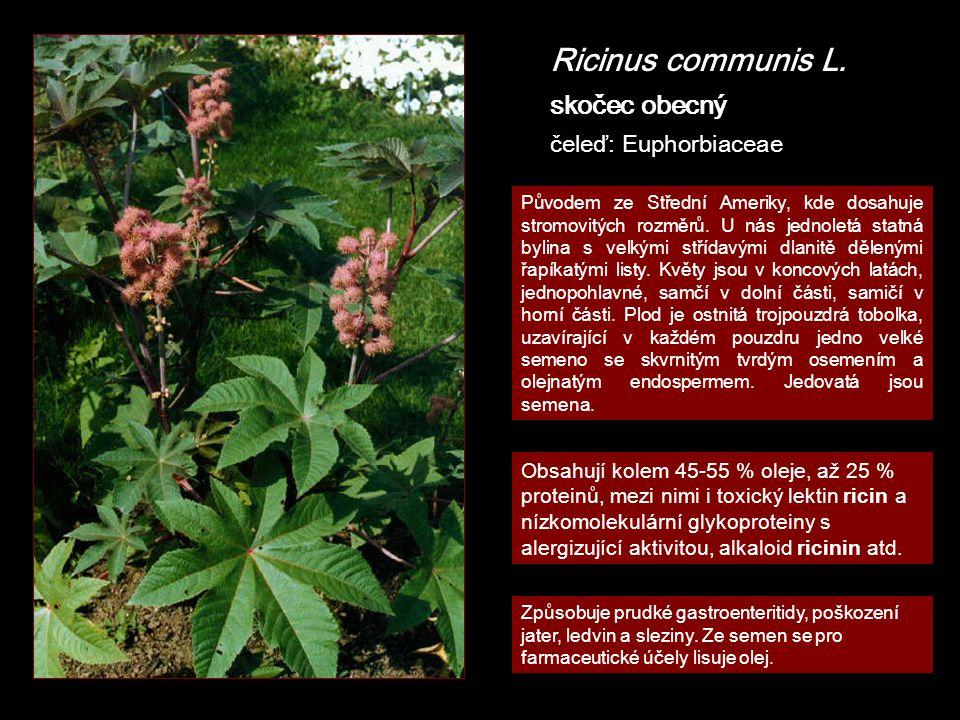 Ricinus communis L. skočec obecný čeleď: Euphorbiaceae