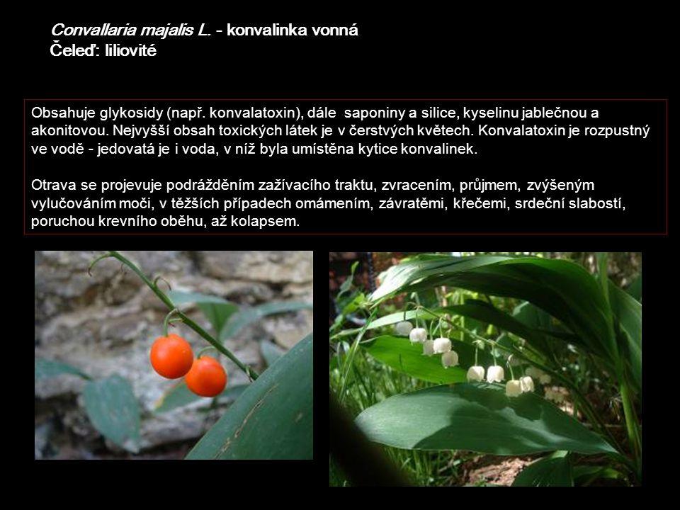 Convallaria majalis L. - konvalinka vonná Čeleď: liliovité