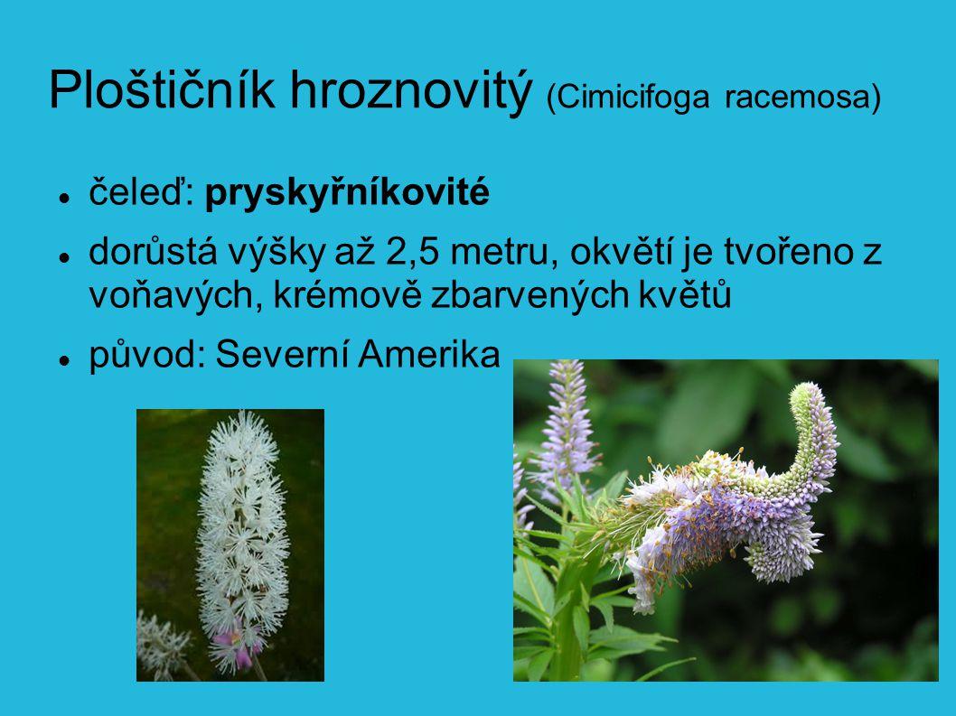 Ploštičník hroznovitý (Cimicifoga racemosa)
