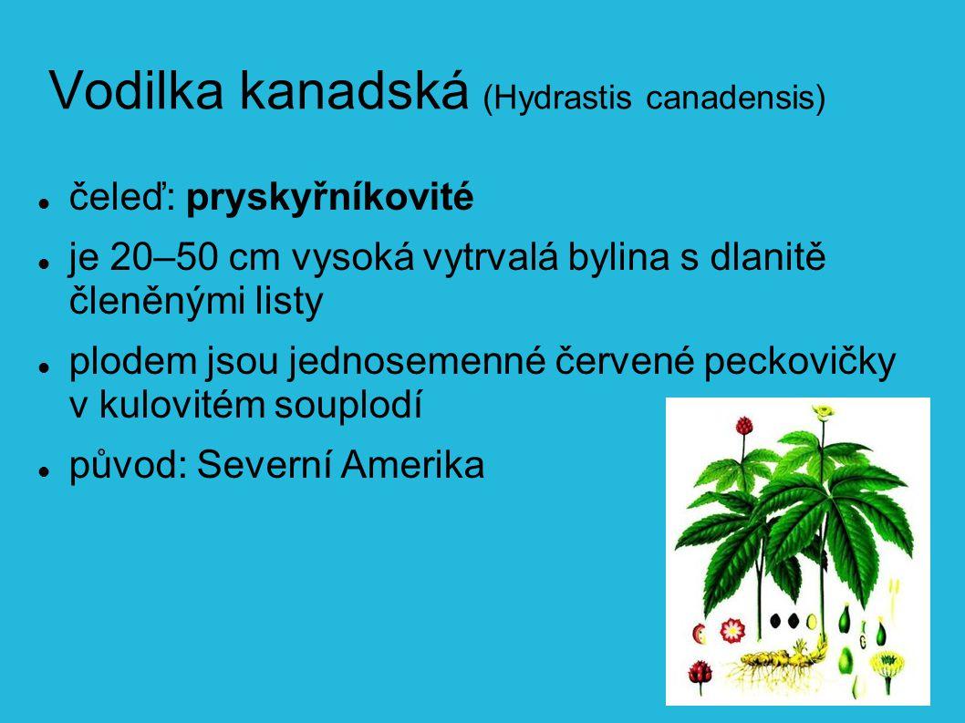Vodilka kanadská (Hydrastis canadensis)