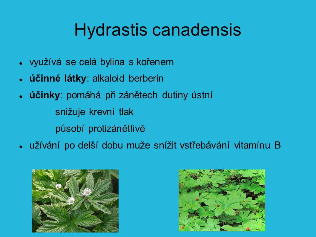 Hydrastis canadensis využívá se celá bylina s kořenem