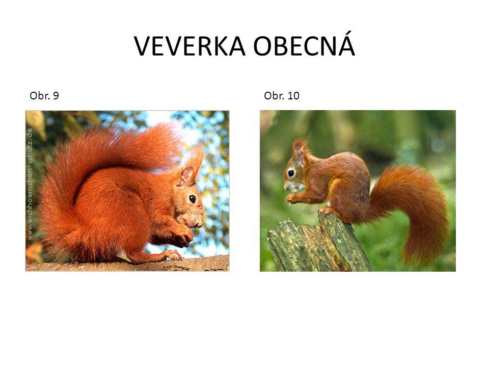 VEVERKA OBECNÁ Obr. 9 Obr.