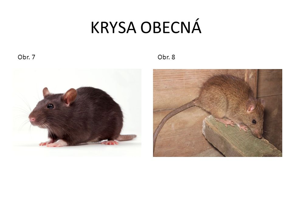 KRYSA OBECNÁ Obr. 7 Obr. 8