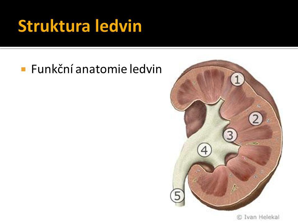 Struktura ledvin Funkční anatomie ledvin