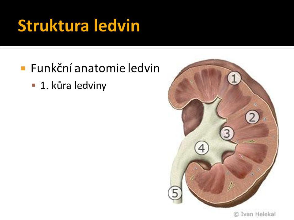Struktura ledvin Funkční anatomie ledvin 1. kůra ledviny