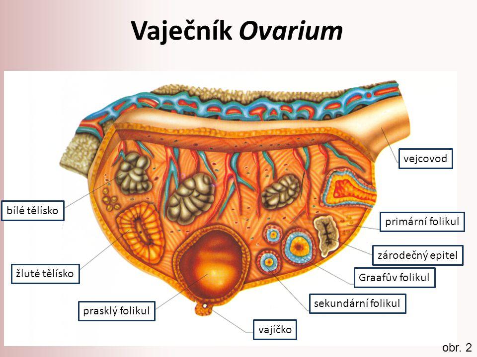 Vaječník Ovarium vejcovod bílé tělísko primární folikul