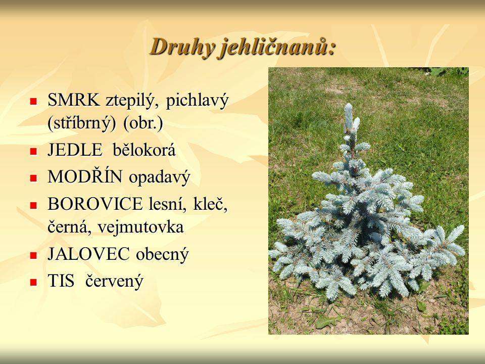 Druhy jehličnanů: SMRK ztepilý, pichlavý (stříbrný) (obr.)