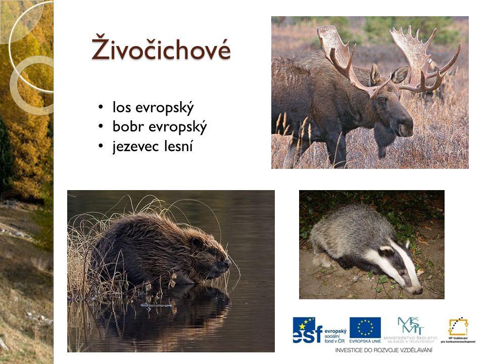 Živočichové los evropský bobr evropský jezevec lesní