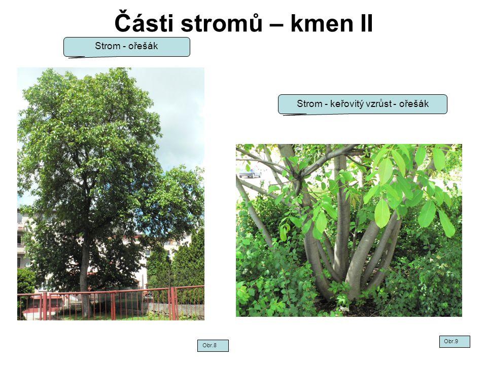Strom - keřovitý vzrůst - ořešák