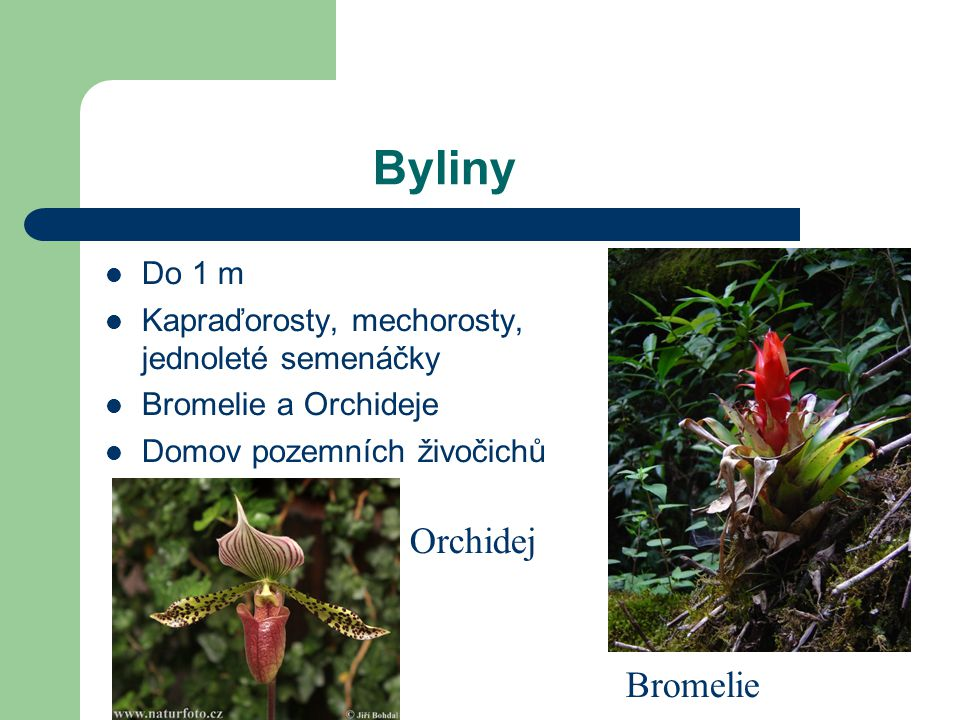 Byliny Orchidej Bromelie Do 1 m
