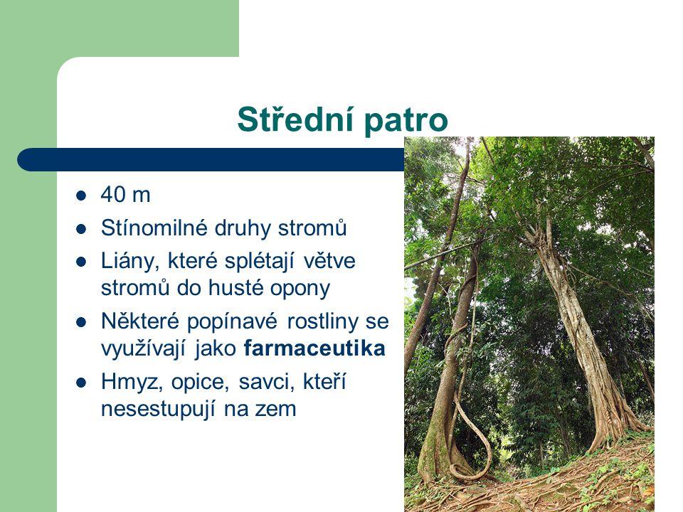 Střední patro 40 m Stínomilné druhy stromů