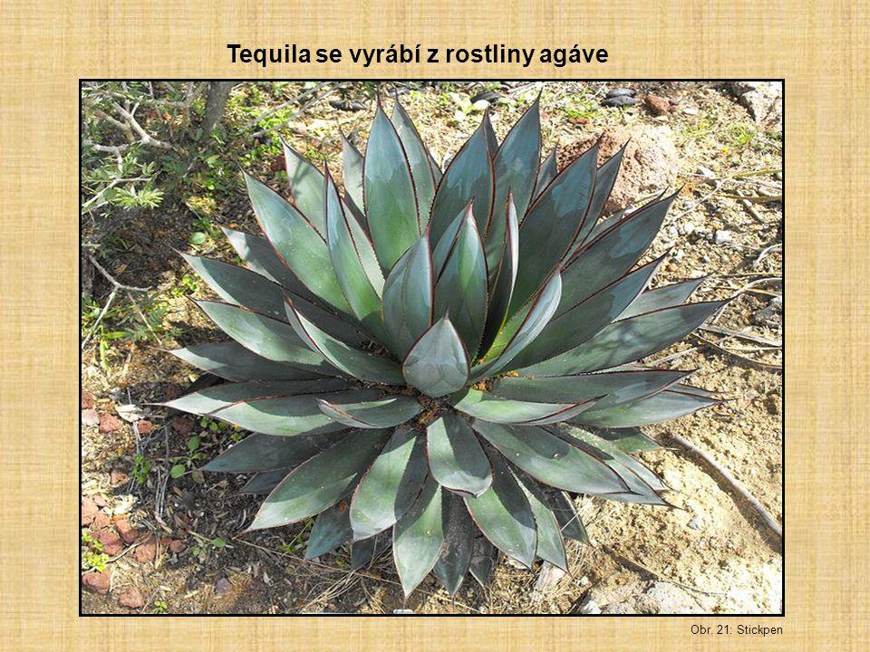 Tequila se vyrábí z rostliny agáve