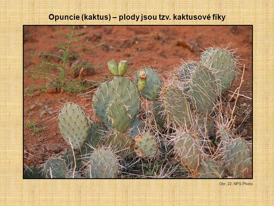 Opuncie (kaktus) – plody jsou tzv. kaktusové fíky