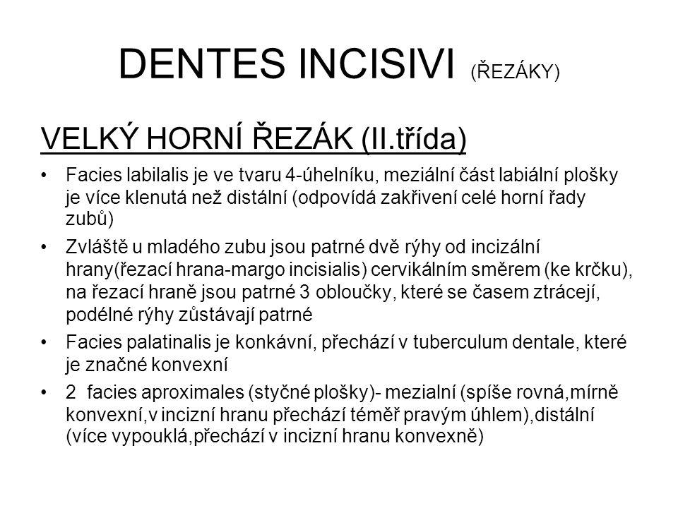 DENTES INCISIVI (ŘEZÁKY)