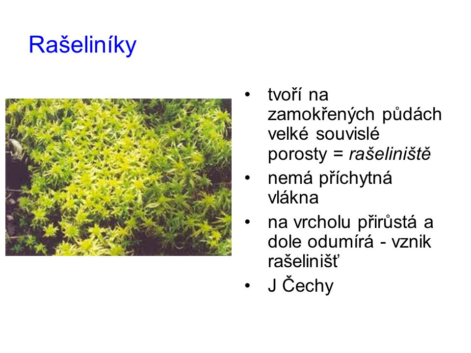 Rašeliníky tvoří na zamokřených půdách velké souvislé porosty = rašeliniště.
