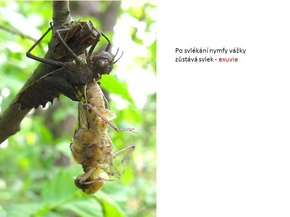 Po svlékání nymfy vážky
