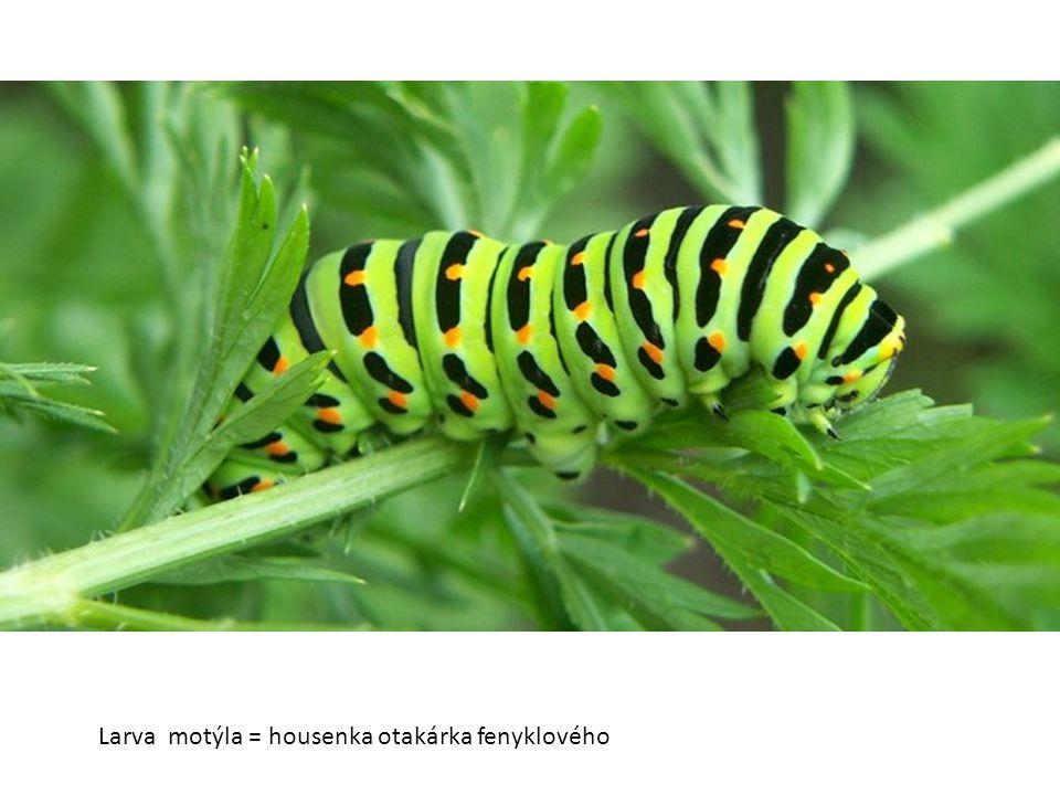 Larva motýla = housenka otakárka fenyklového