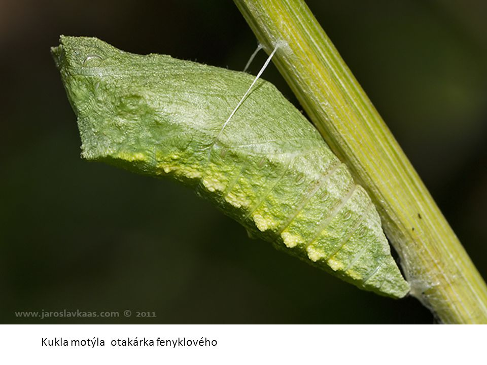 Kukla motýla otakárka fenyklového