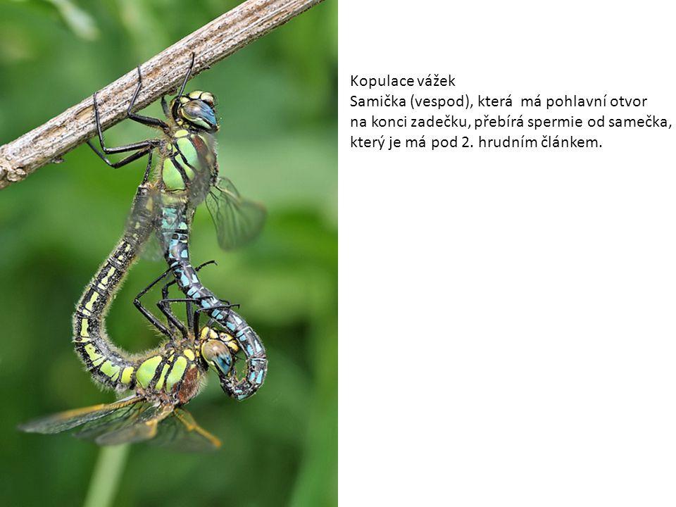Kopulace vážek Samička (vespod), která má pohlavní otvor. na konci zadečku, přebírá spermie od samečka,