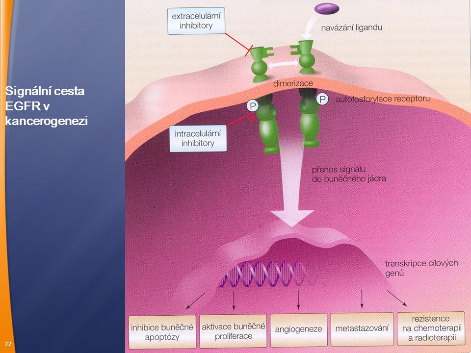 Signální cesta EGFR v kancerogenezi