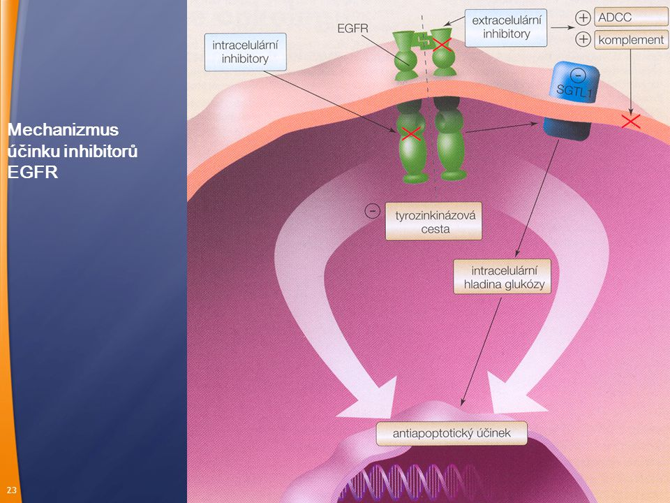 Mechanizmus účinku inhibitorů EGFR