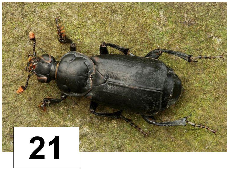 Hrobařík černý 21
