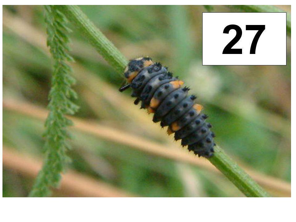 Slunéčko sedmitečné - larva