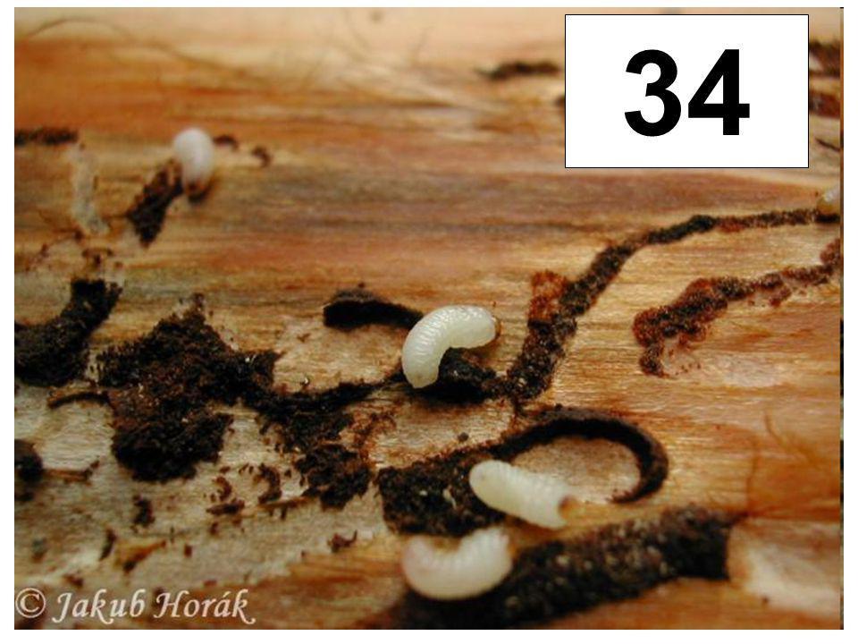 Lýkožrout smrkový 34