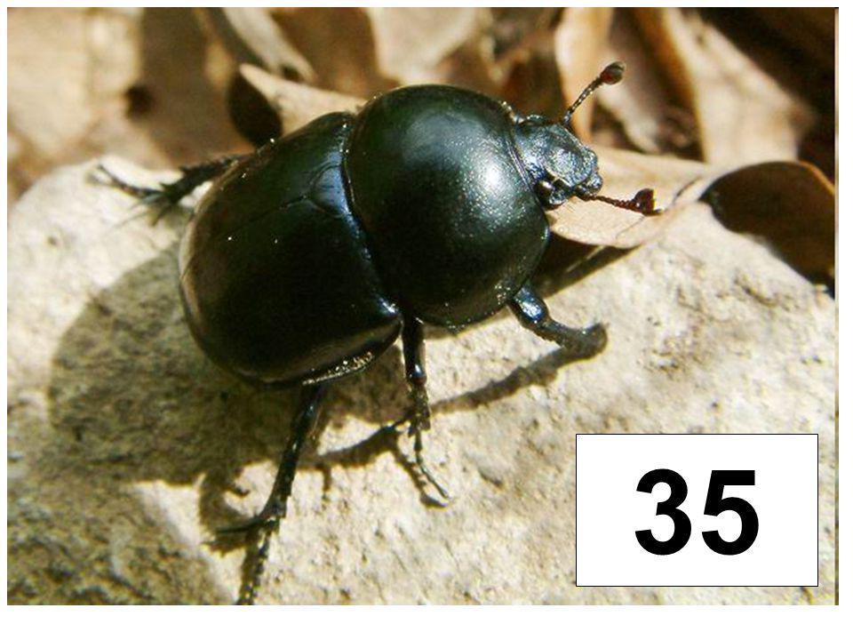 Chrobáci (chrobák jarní)