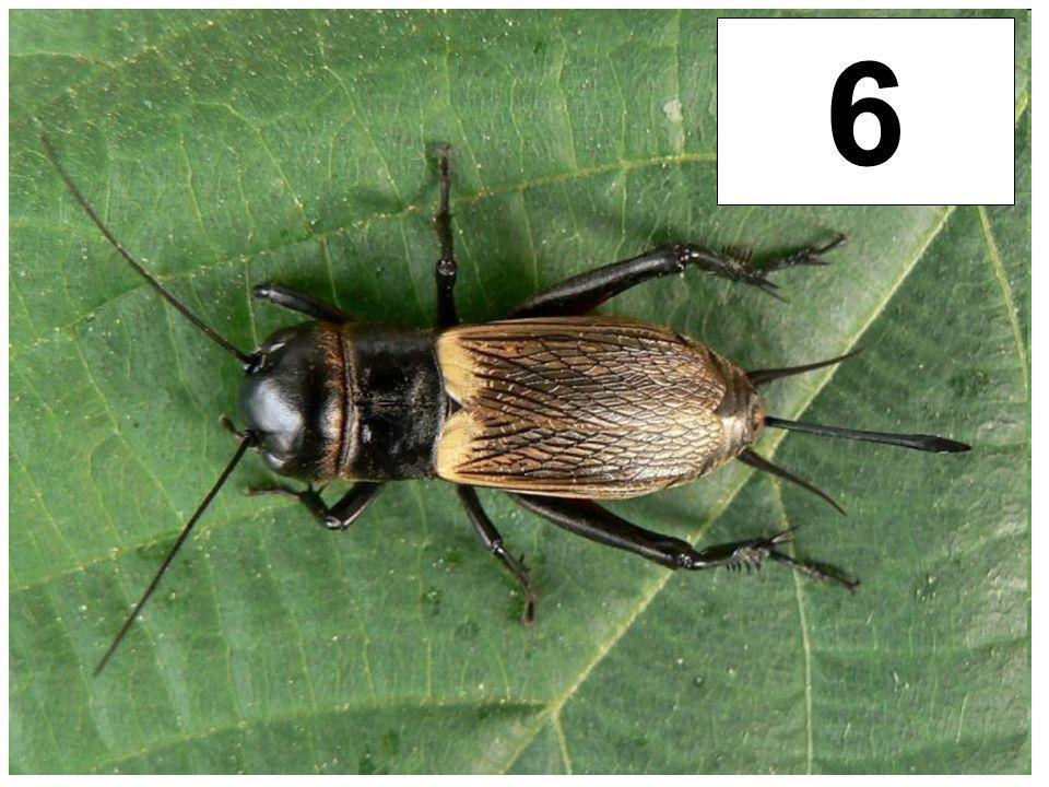 6 Cvrček polní