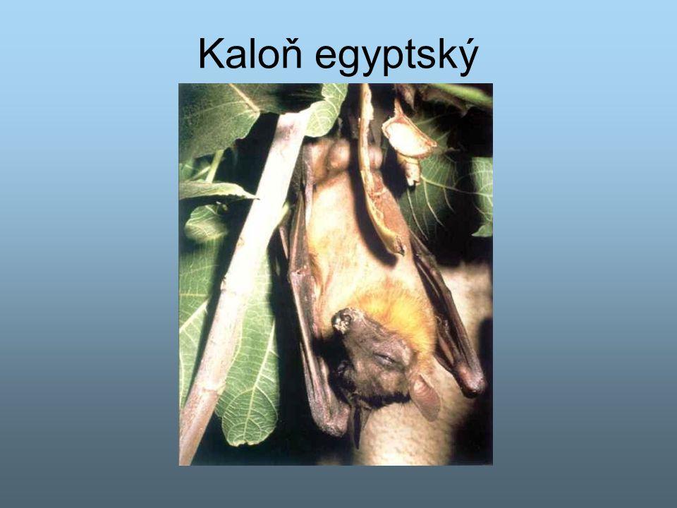 Kaloň egyptský